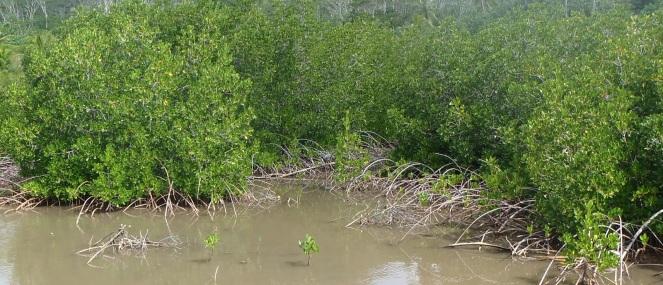 Mangroves rouges et héron - Cliquer pour agrandir