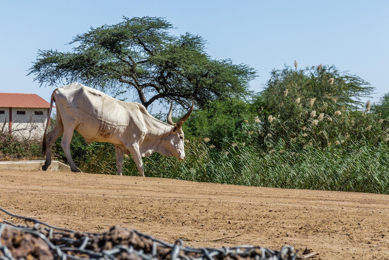 Les éleveurs du peuple maure mutilent affreusement et inutilement les vaches pour identification. On voit ici les énormes cicatrices du haut en bas sur tout le corps.