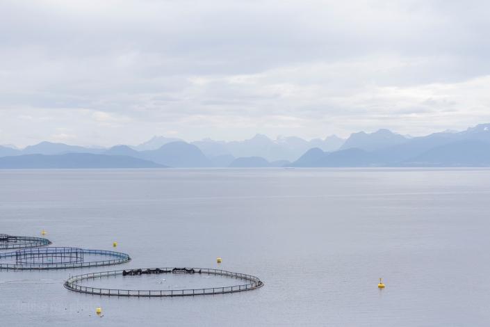 À Solholmen sur l'île d'Otteroya. On voit bien les poissons sauter. Ils s'amusent ou bien ils tentent de fuir cette prison dorée?