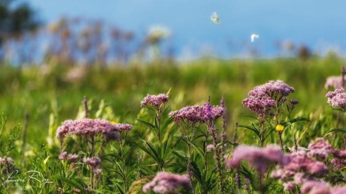 Fleurs marais